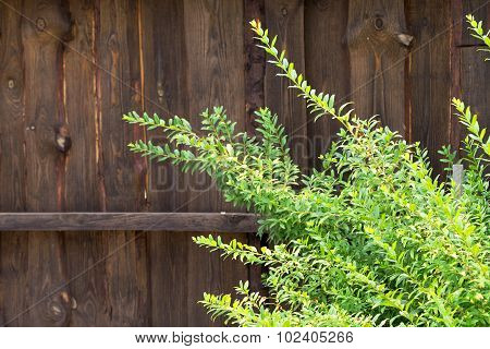 Green Leaves Of Bushes In Front Of Old Wooden Planks Rustic Fence, Abstract Landscape For All Of You