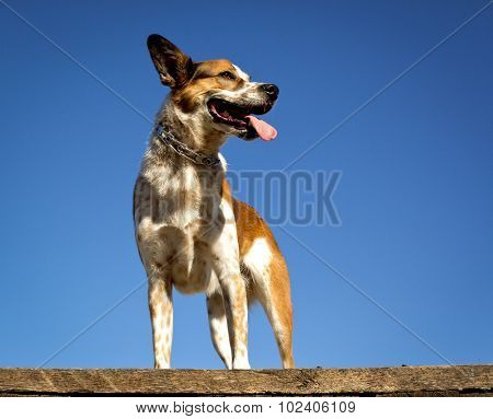 Happy Australian cattle dog looking right with blue sky