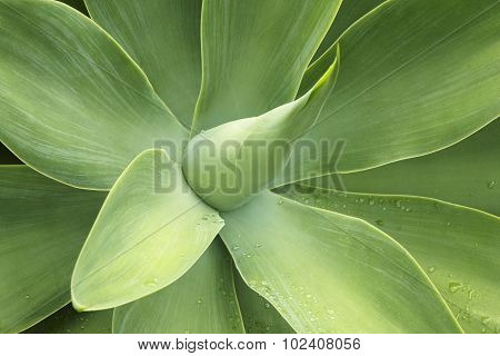 Agave Attenuata, Lions Tale, Swams Neck, Foxtail. Green Plant Detail