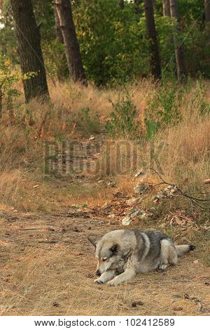 Grey Dog Sleeping In Wood