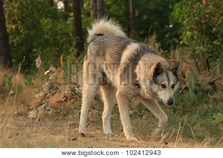 Grey Dog In Wood