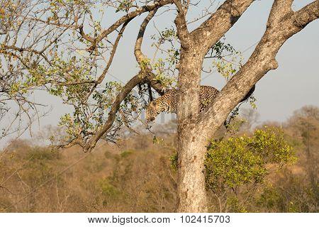 Leopard Climbing Down A Tree