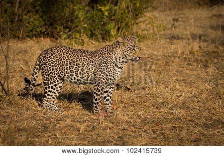 Leopard In Morning Sun