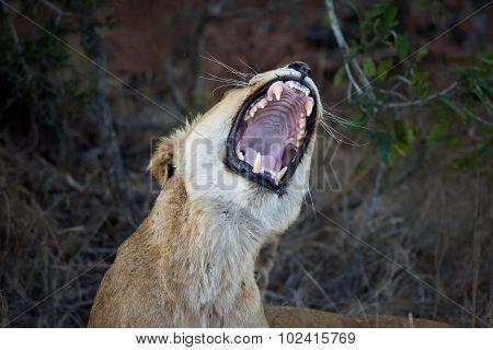 Female Lion Showing Teeth