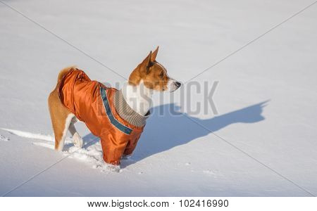 Basenji hesitating play when it see so much snow