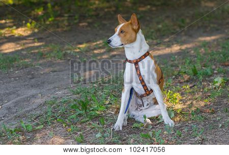 Basenji dog sitting on the ground