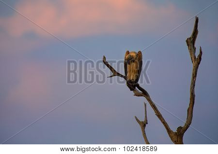 White Backed Vulture Sitting In Dead Tree At Sunset