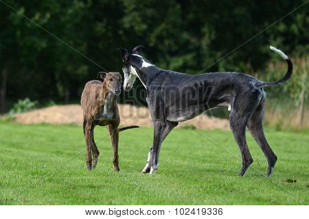 playing Galgos