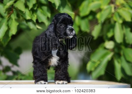 black and white american cocker spaniel puppy