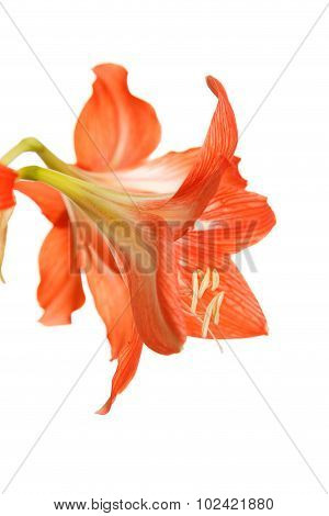 Big Red Flowers Isolated On White Background