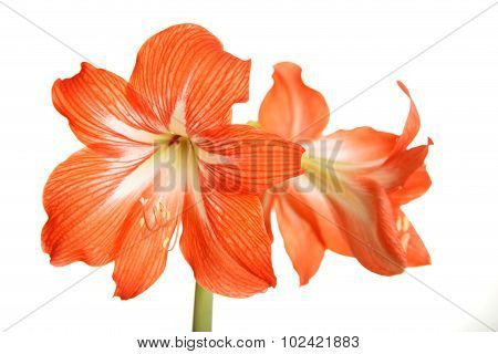 Big Red Flowers Isolated On White