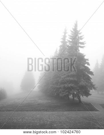 Conifers in the park during a heavy fog