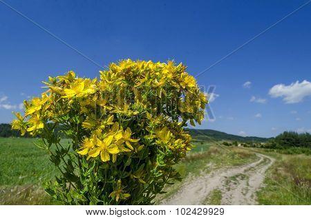 Bunch of tutsan or St. John's wort (Hypericum)  yellow medical flowers