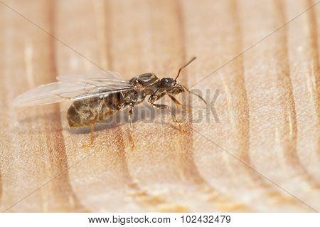 Fllying Ant
