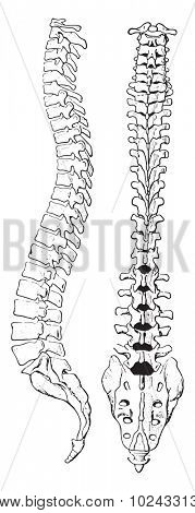 The spinal column of human body, vintage engraved illustration.