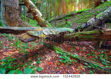 Old Fallen Trees In The Forest