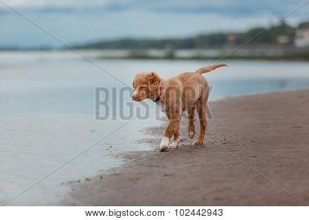 Nova Scotia Duck Tolling Retriever On The Beach
