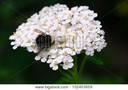 Spider Eating Bumblebee On Yarrow
