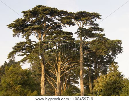 Monterey Cypress Trees at Sunset