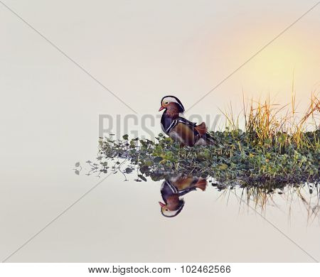 Male Mandarin Duck on a Lake