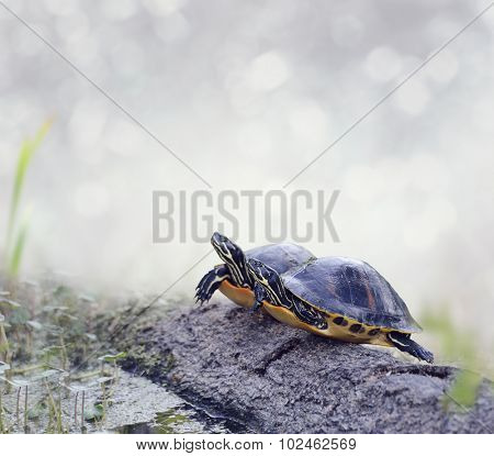 Florida Cooter Turtles On A Log