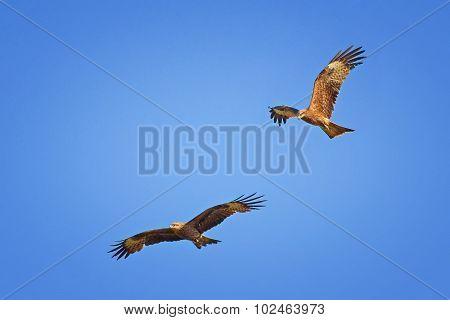 Two Black Kites Flying In Blue Sky
