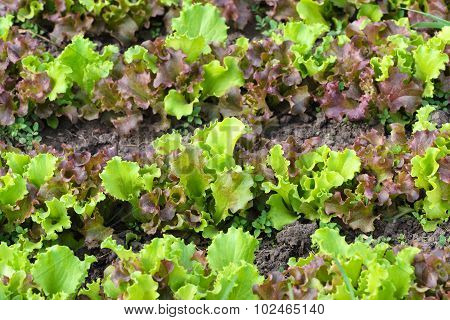 Fresh Green Lettuce Or Salad Leaves At Summer Day