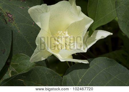 White Cotton Plant Blossom