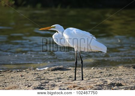 The Great Egret At Malibu Lagoon In September