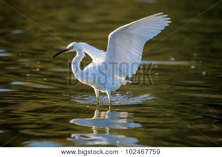The Snowy Egret Is Flying At Malibu Lagoon