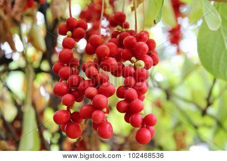 branch of red schisandra