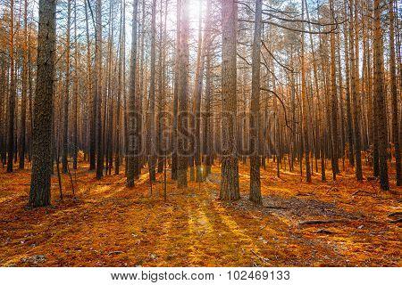 Sunrise In Magic Autumn Coniferous Forest As Beautiful Nature Scenery