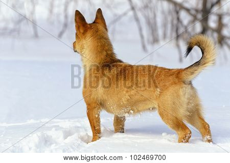 Ginger Little Dog Looking Fixedly Ahead