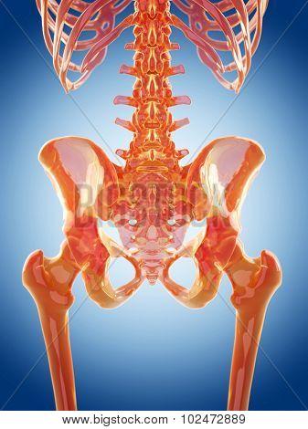 glass skeleton illustration - the lumbar spine