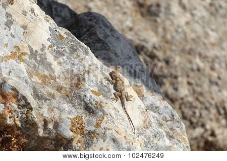 Small Stellio Lizard On Stone