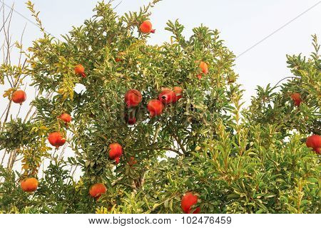 Many Ripe Pomegranates On A Tree