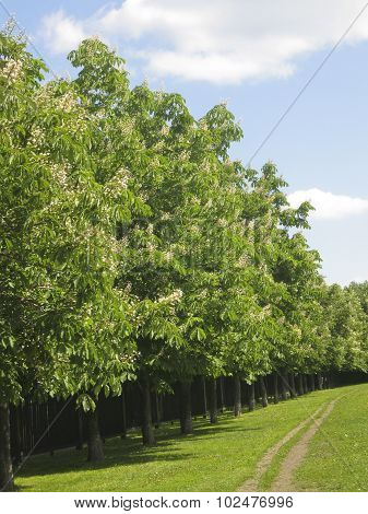 Avenue Of Chestnut Trees In Blossom