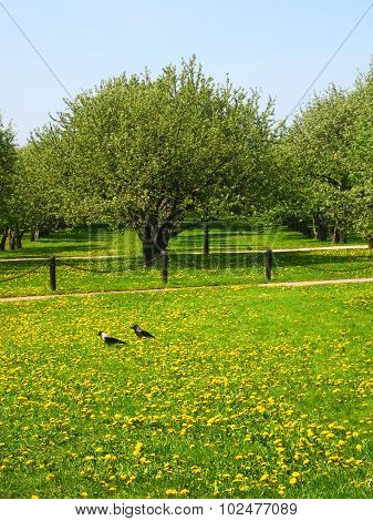 Apple Trees And Yellow Dandelions