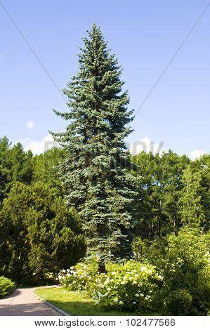 Big Blue Spruce Tree