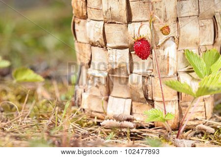 Buskground of one strawberry on the birch bark background