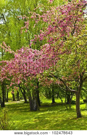 Pink Cherry Tree In Blossom