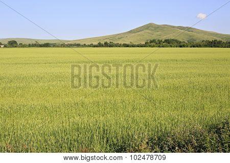 Beautiful summer field crops.