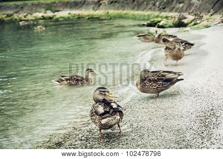 Wild Mallard Ducks On The Lake Shore