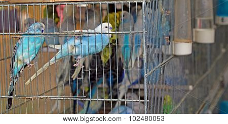 Colourful Budgies In Cages For Sale
