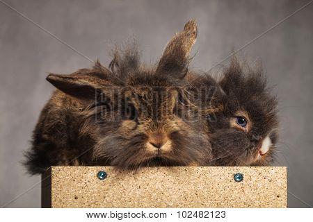 Two furry lion head rabbit bunnys sitting on a wood box on grey studio background.