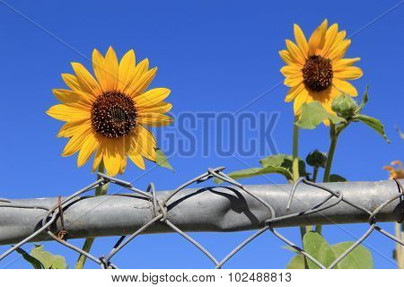 Two pretty sunflowers on fence
