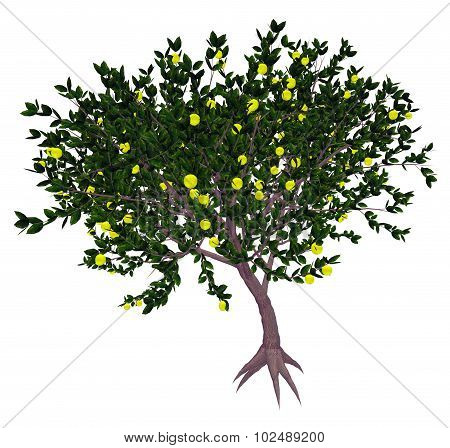 Mexican or key lime tree - 3D render