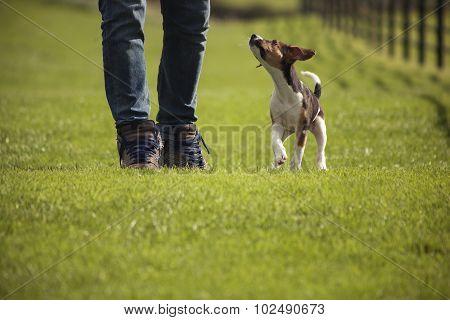 Walking Beagle dog puppy