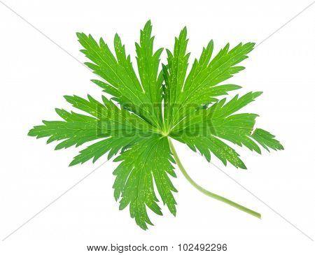 Globe-flower leaf