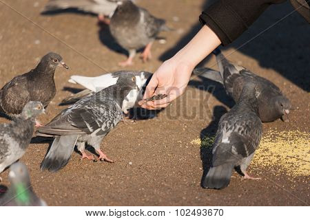 Girl Feeding Flock Of Pigeons